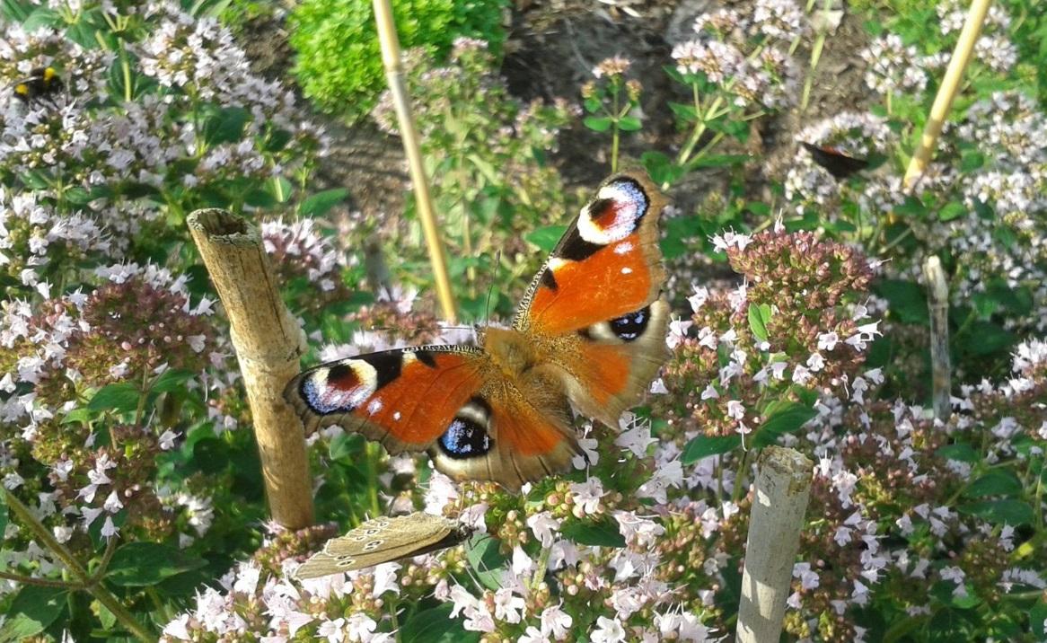 Schmetterlinge im Sommer